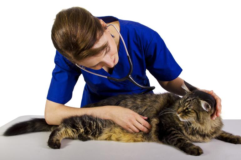 Лечение мастита у кошек