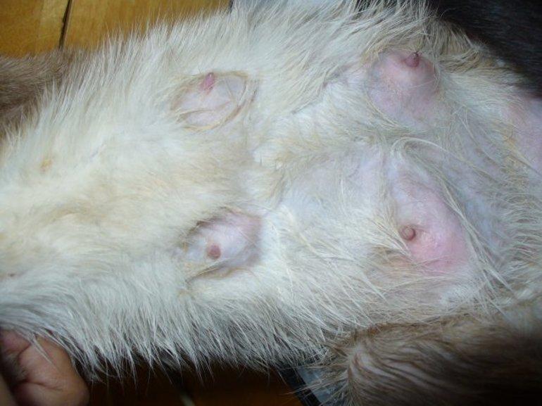 Лечение мастита у кошки