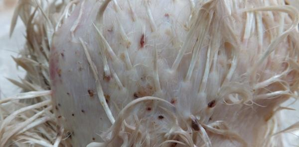 Паразиты на теле курицы