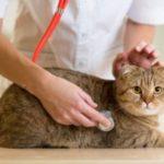 классификация пороков сердца у кошек