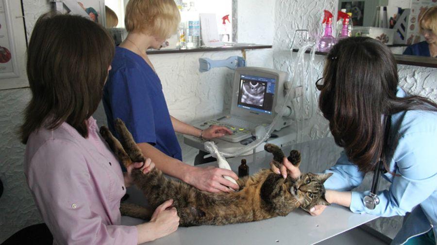 Лечение сердечной недостаточности у кошек