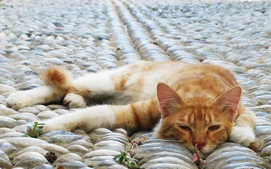 Сердечные заболевания кошек