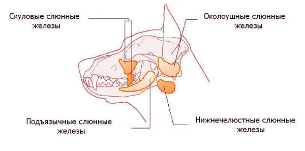 слюнные железы у собак