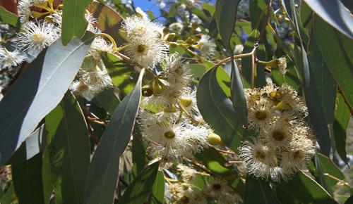 smoking-eucalyptus