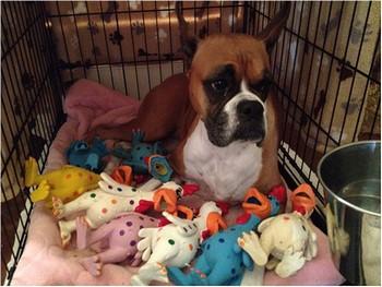 Собака с ложной беременностью