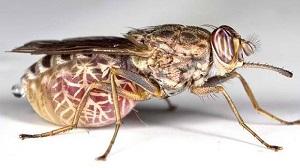 Возбудитель сонной болезни - муха цеце