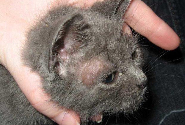 Стригущий лишай у кошек: симптомы, лечение и фото