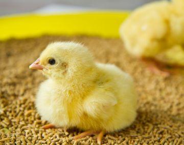 комбикорм для маленьких цыплят