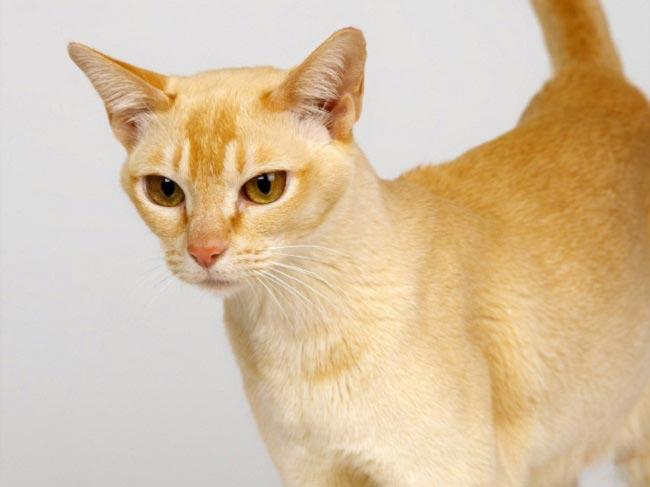 цейлонская кошка фото