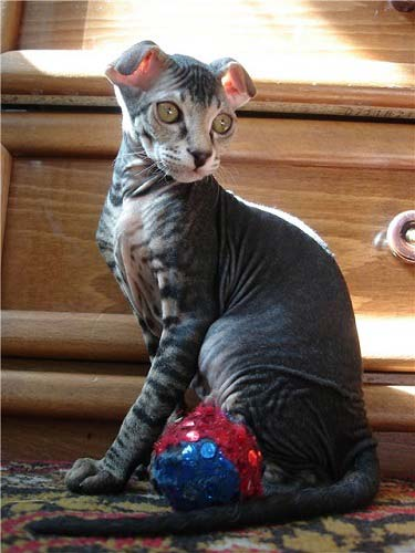 кошка украинский левкой