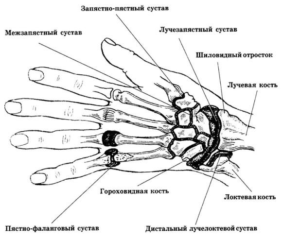 Суставы руки человека