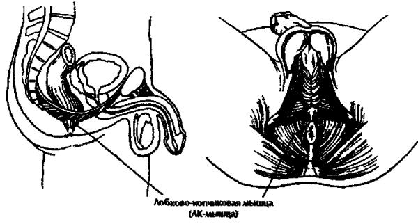 Расположение лобнокопчиковой мышцы