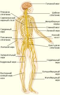 Центральная нервная система человека.