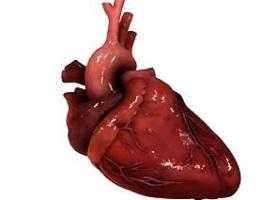 Сердце - самый важный орган человека.