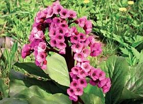 Цветы бадана