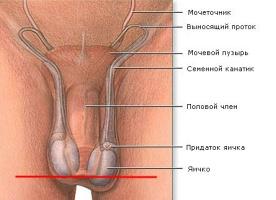 Строение полового органа у мужчин