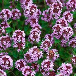 Цветки чабреца