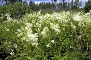 Лечебное растение Таволга и его свойства.