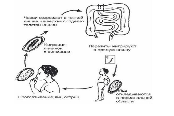 Замкнутый процесс заражениям энтеробиозом