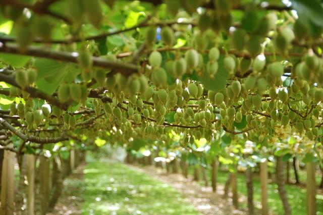 Плоды киви на деревьях