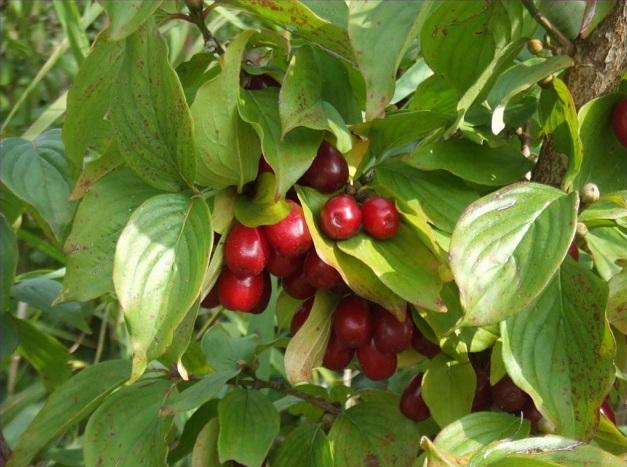 Листья кизила и ягоды