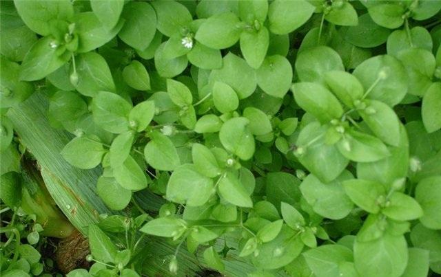 Трава мокрица: лечебные свойства и фото