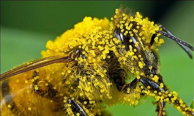 Пчела при сборе пыльцы