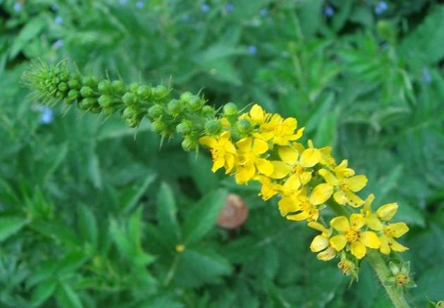 Цветок репешка